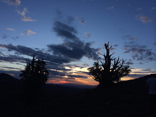 Bristlecone pines at sunrise.