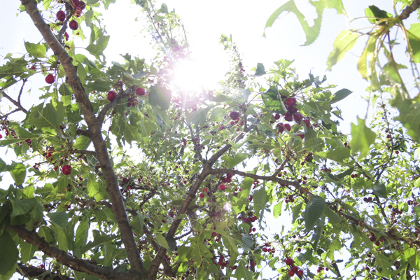 A cherry tree full of fruit.