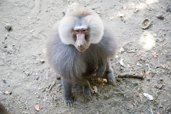 Close shot of a very curious baboon.