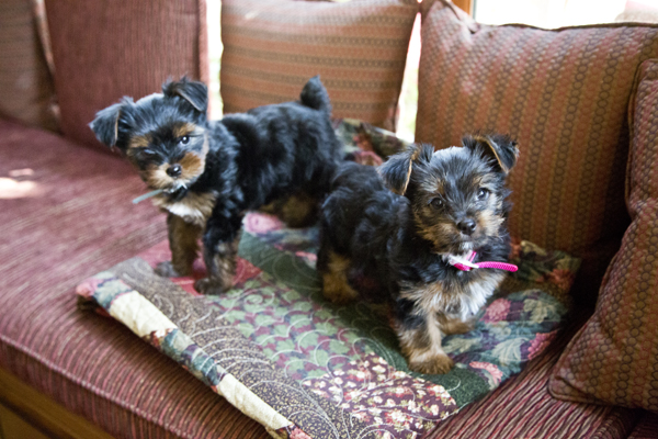 yorkshire terrier, yorkie puppy, yorkshire terrier puppy